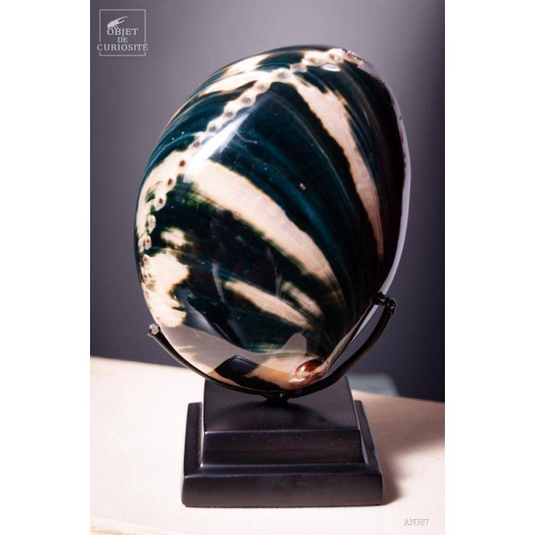 Black Californian polished abalone
