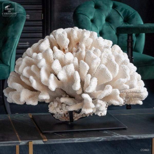 White coral  POCILLOPORA EYDOUXI