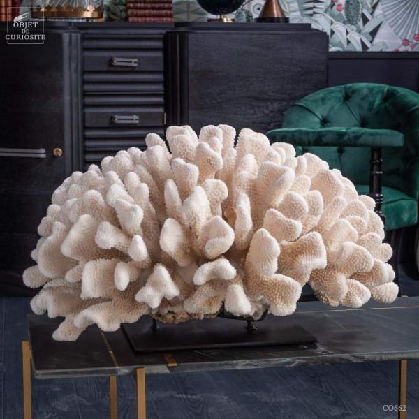 Enorme corail choux fleur  P. EYDOUXI