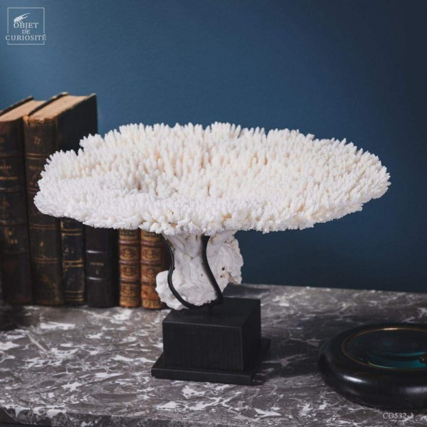 White table coral A.HYACINTUS on...