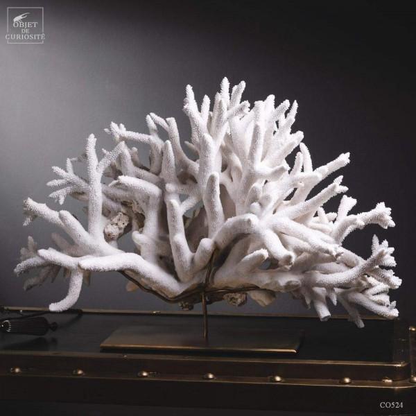 Corail blanc staghorn - A. NOBILIS -...