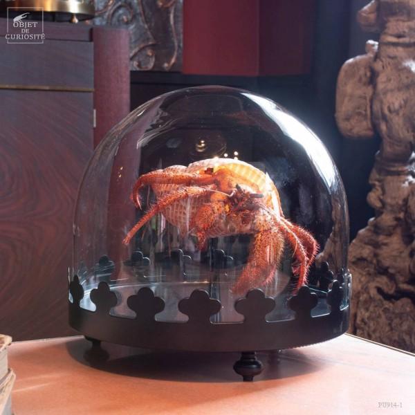 Giant hermit crab from Cebu, under...