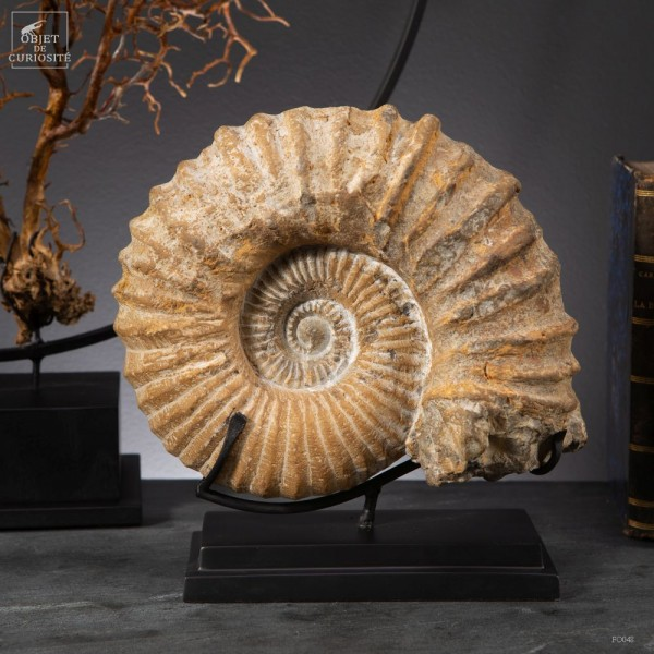 Ammonite from Morocco on black base