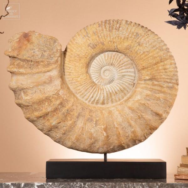 Large Cretaceous ammonite on black...