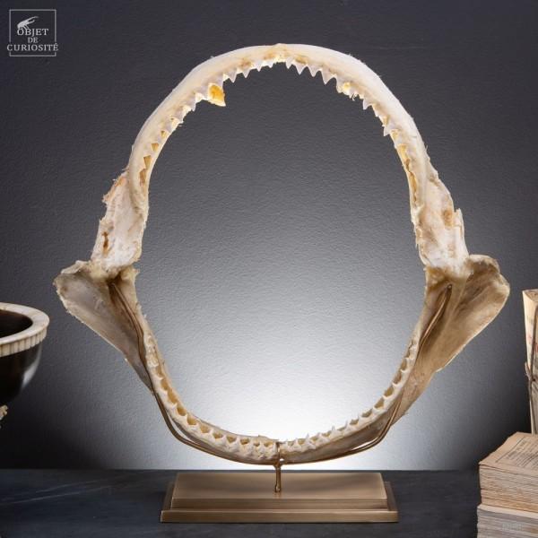 Jaw of bull shark on brass base