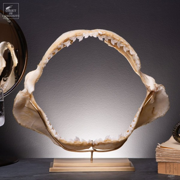 Jaw of  of tiger shark on brass base