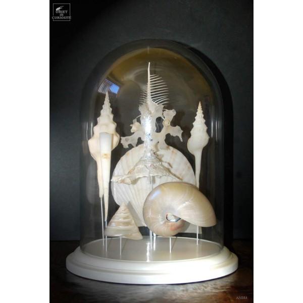 Coquillages de mariée sous globe(8) socle blanc