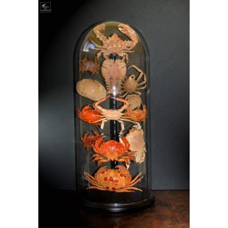 Family of 13crabs under glass