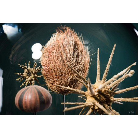 Urchins in family under glass
