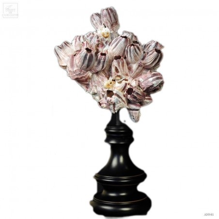 Balanus purple shells on wood stand