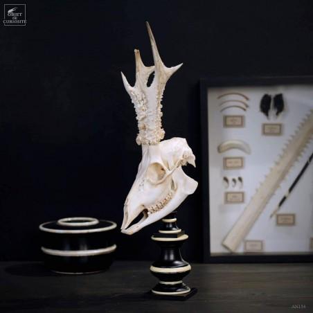 Crane de chevreuil blanchi sur socle bicolore
