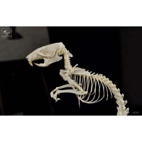 Squelette de rat debout sous globe