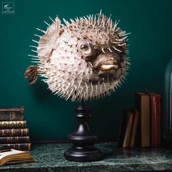Large globefish on black stand