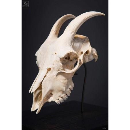 Goat skull under square glass