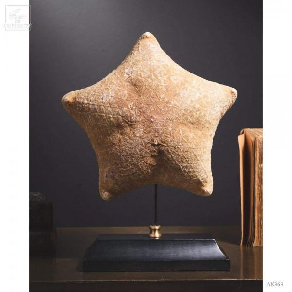Starfish - Halithyle regularis- on black base