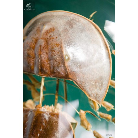 Fragmented horseshoe crab in oval glass