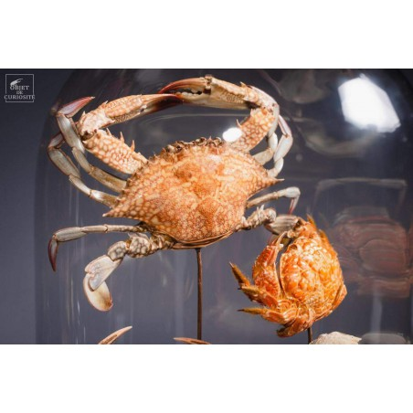 Family of 7 crabs in capsule glass
