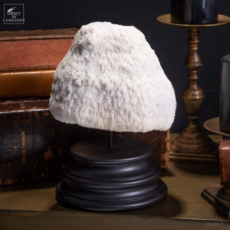 White Bowl coral  -HALOMITRA PILEUS- on black base
