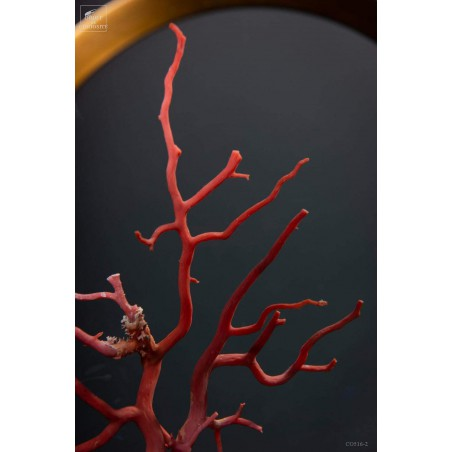 Mediteranean sea red coral
