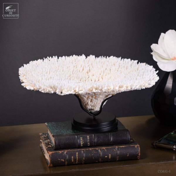 Corail blanc Table sp. ACROPORA HYACINTUS sur base ronde noire
