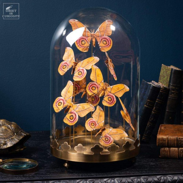 8 butterflies ANTHERINA SURAKA  with brass base