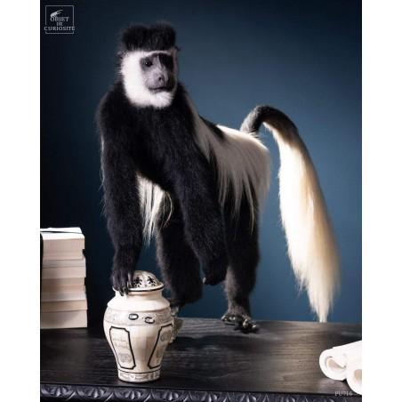Taxidermy of Colobus Monkey